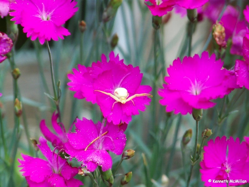 Crab Spider (5)_watermarked