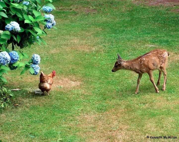 Deer & Chicken_watermarked