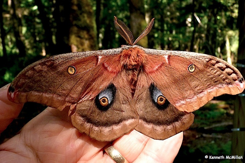 Polyphemus Moth 03_watermarked