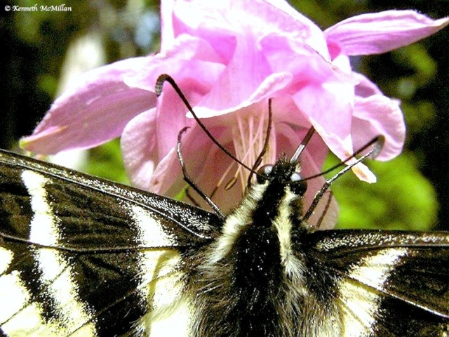 Pale Swallowtail (Paplio eurymedon)