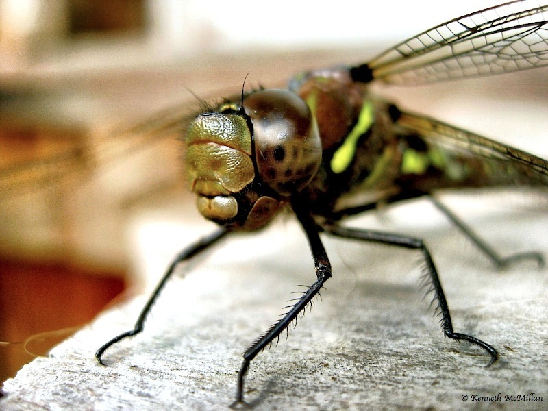 Dragon Fly 01_watermarked