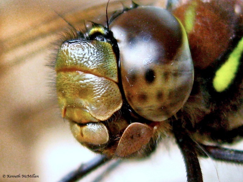 Dragon Fly 02_watermarked