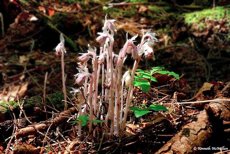 Indian Ghost Pipe