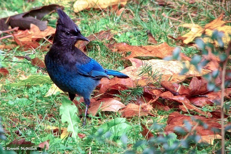 Steller's Jay 2_watermarked