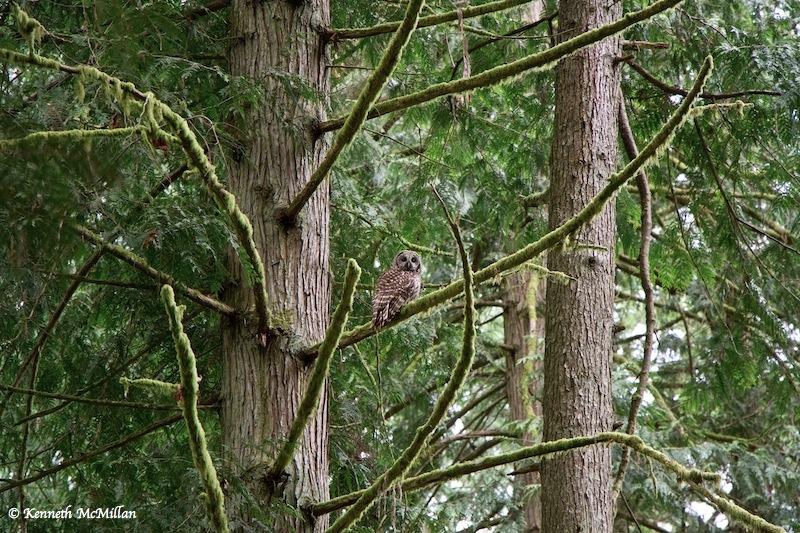 Barred Owl_watermarked