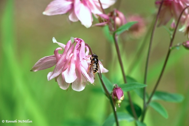 Hoverfly on Columbine