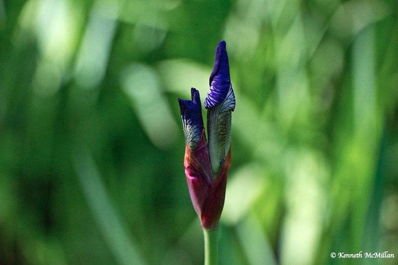Iris Bud 1_watermarked