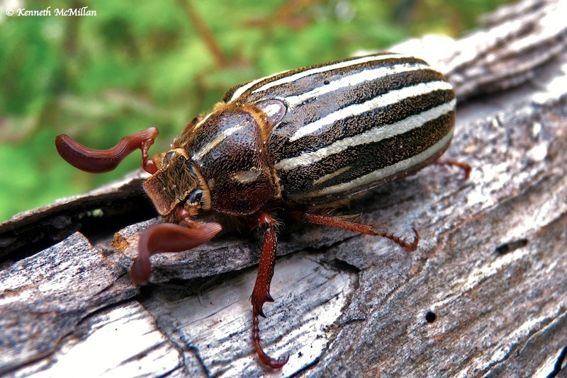 Ten-lined June Bug (Polyphylla decemlineata) « Hard-To ... - photo#43