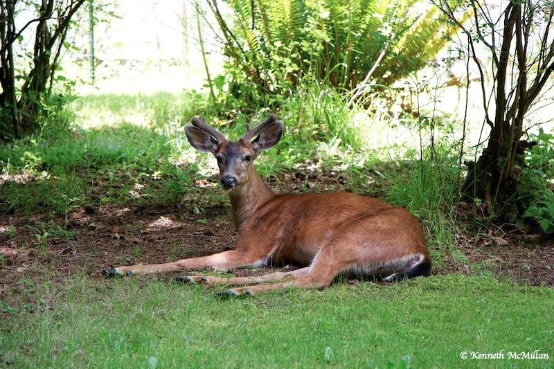 Bigger Antlers_watermarked
