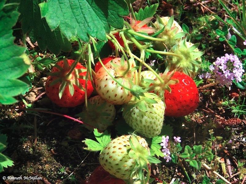 Strawberry_watermarked