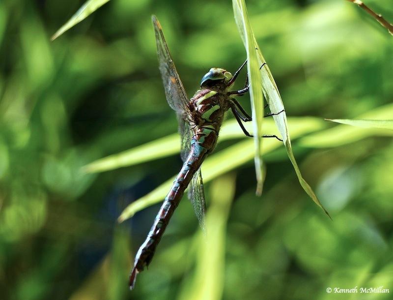 Blue-eyed Darner (Aeshna multicolor)_watermarked
