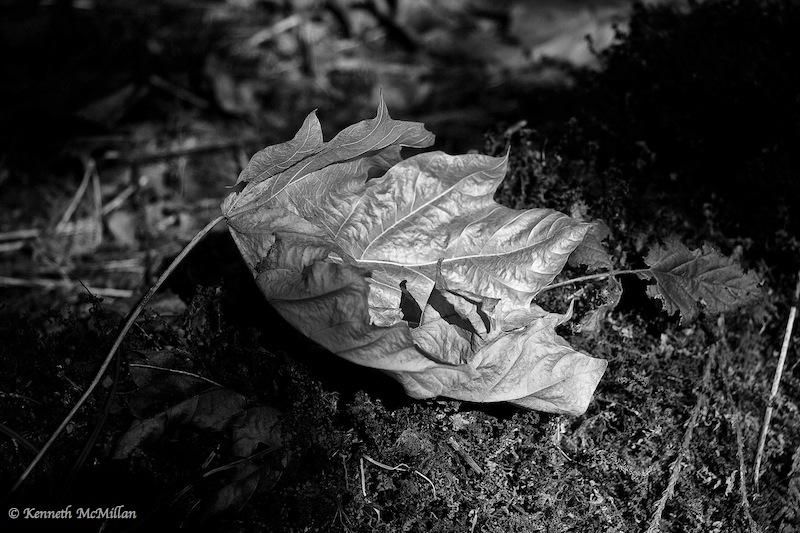 Fallen Leaf 01_watermarked