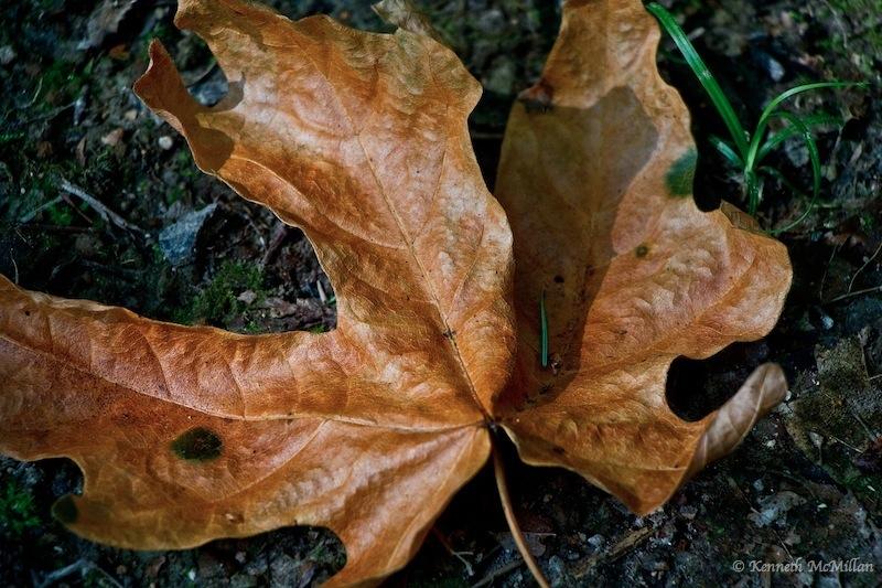 Fallen Leaf 02_watermarked