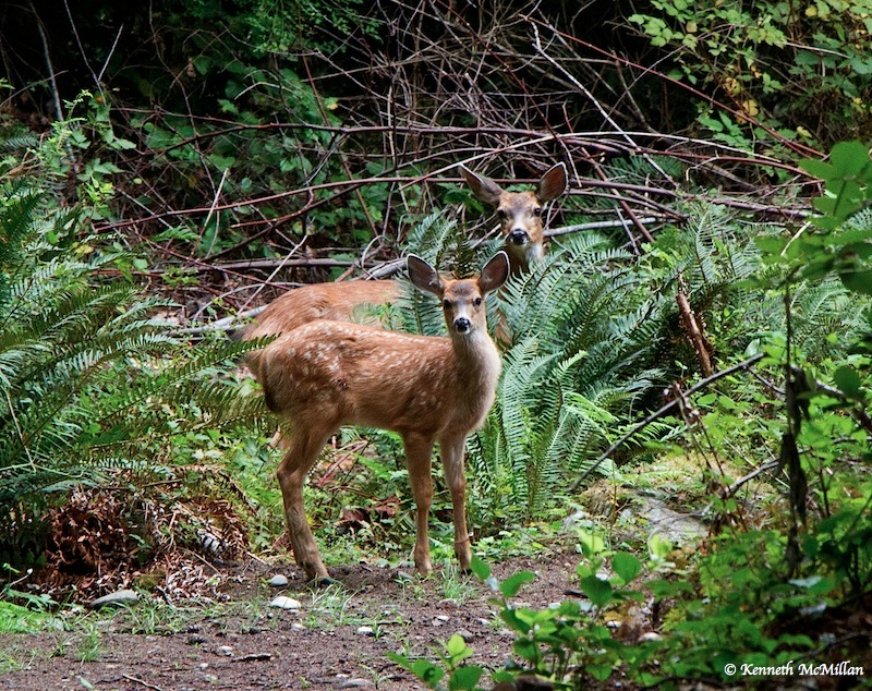 Fawn_watermarked