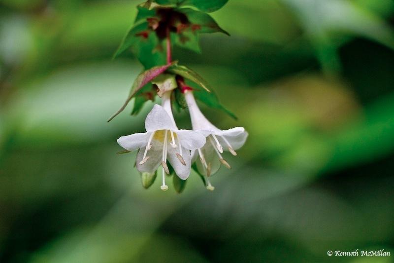 Himalayan Honeysuckle Flower (Leycesteria formosa)