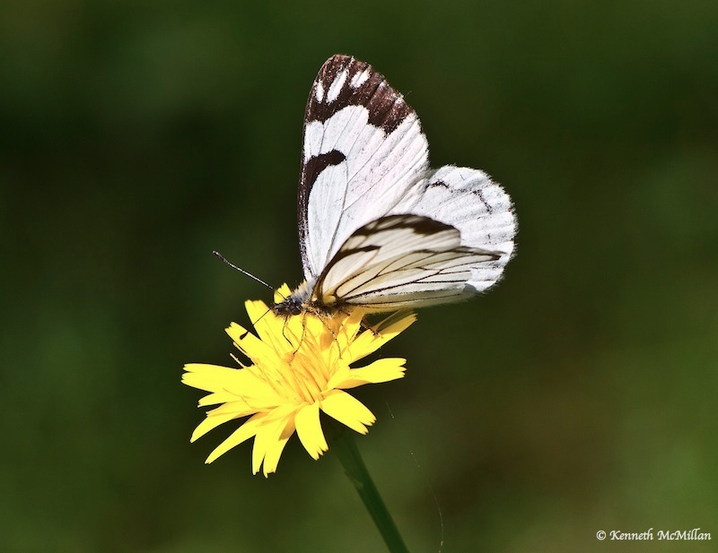 Pine White (Neophasia menapia) 3_watermarked