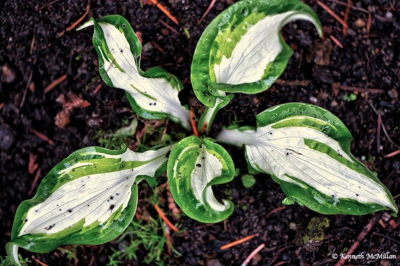 Plantain Lily (Hosta)_watermarked