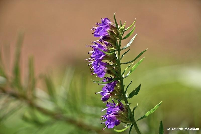 Rosemary Flower_watermarked