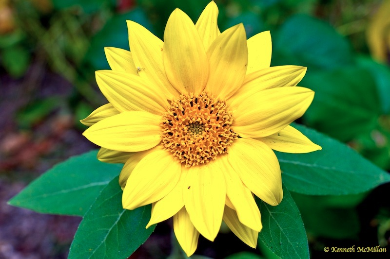 Found this small sunflower hidden among the pole beans yesterday.  It must have been planted by the birds.