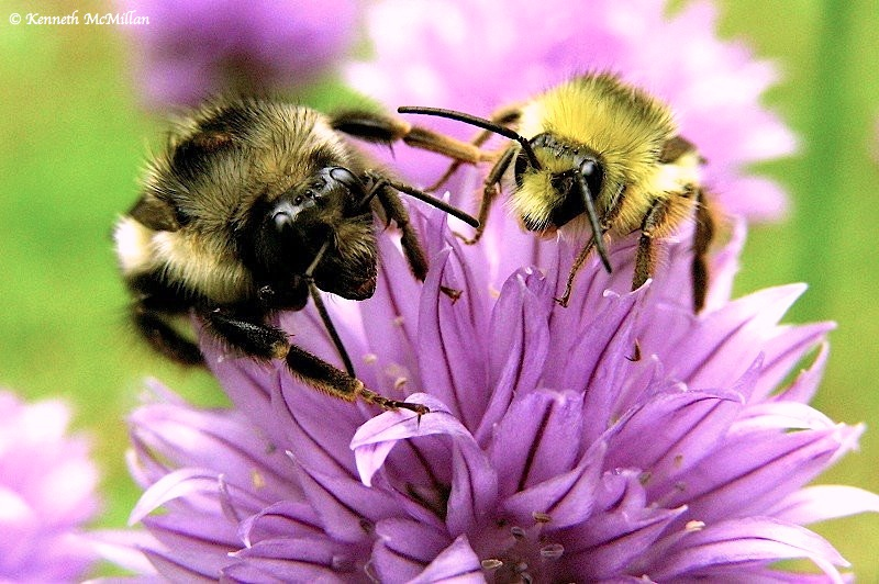 Bumble Bees_watermarked