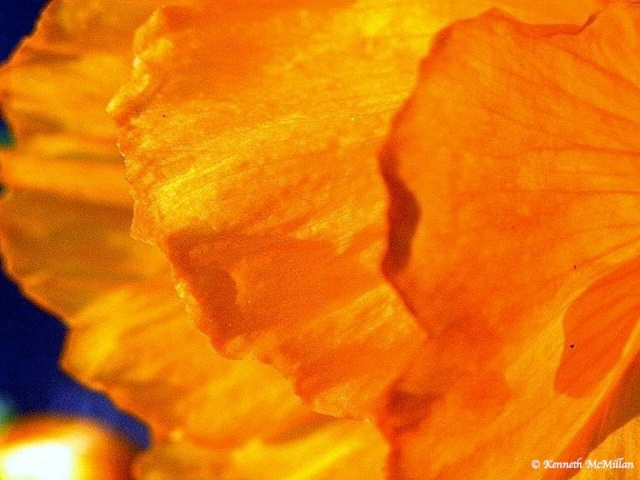 Poppy 06_watermarked