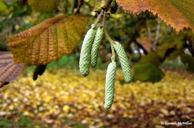 Hazelnut catkin_watermarked