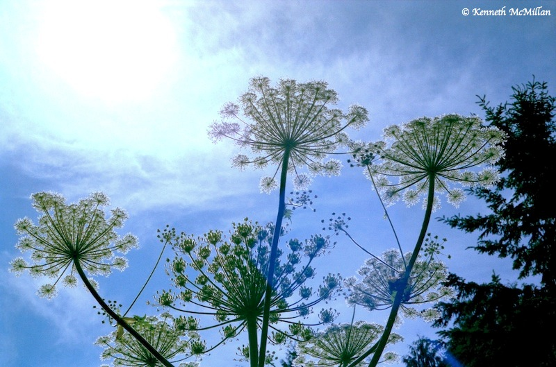 Hogweed 01_watermarked