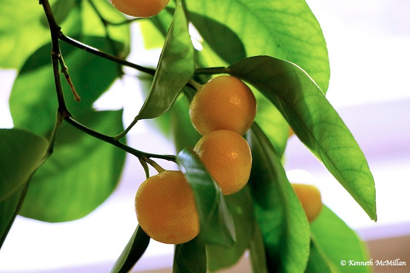 Calamondin Orange_watermarked