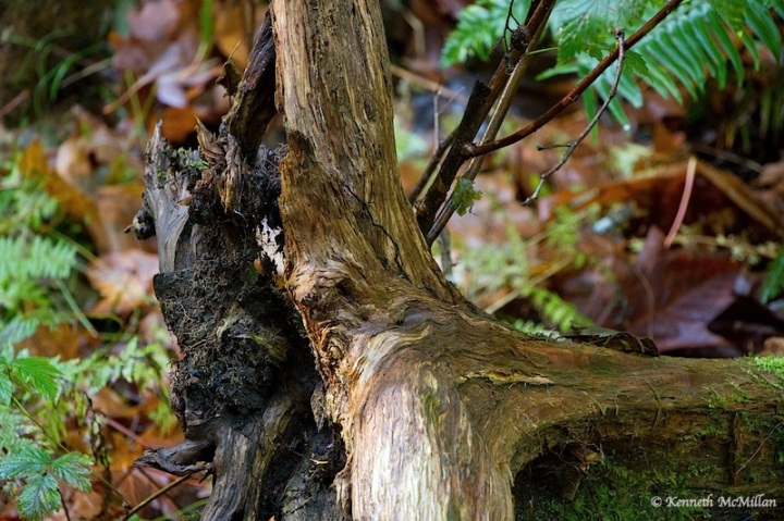 Cedar Stump Texture_watermarked