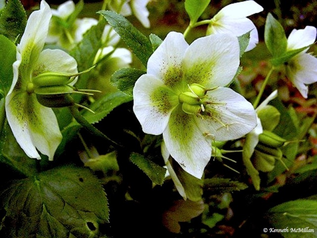 Christmas Rose_watermarked