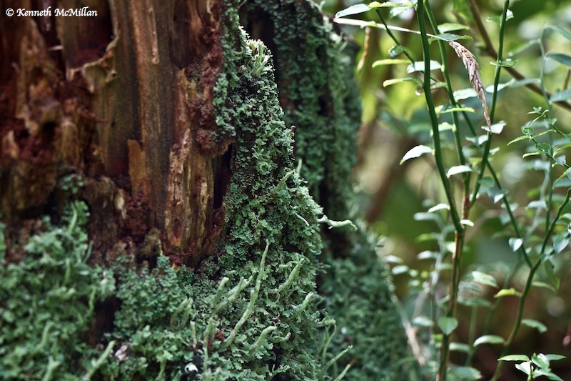 Lichen on Stump_watermarked