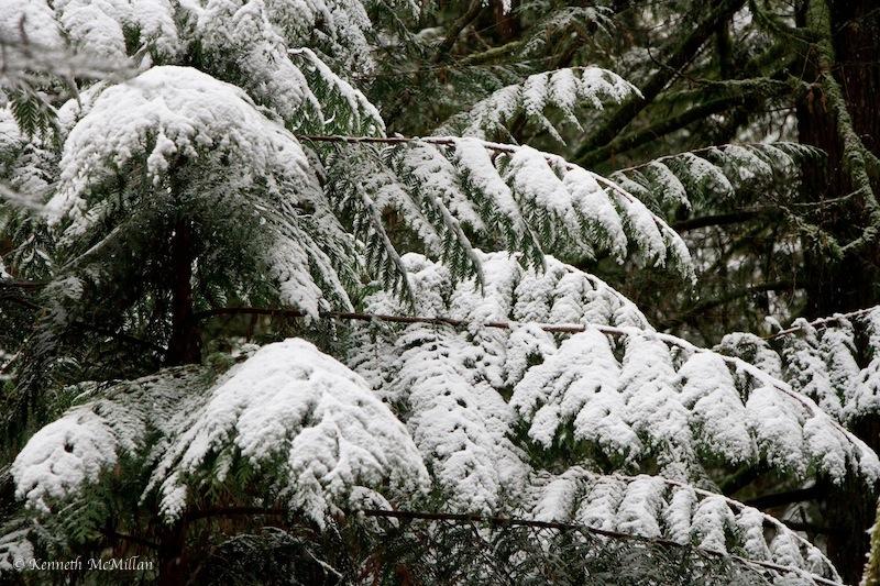 Cedar Boughs