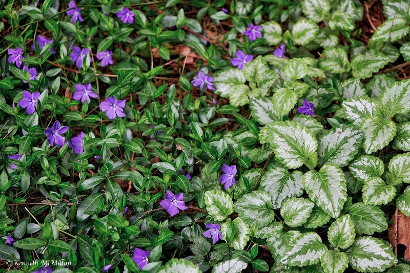 Periwinkle (Vinca minor) and Yellow Archangel (Lamiastrum galeobdolon variegatum)