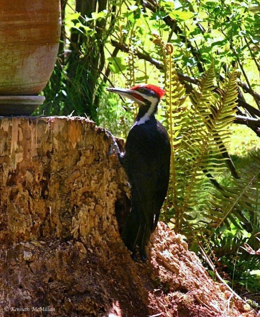 Pileated Woodpecker_watermarked