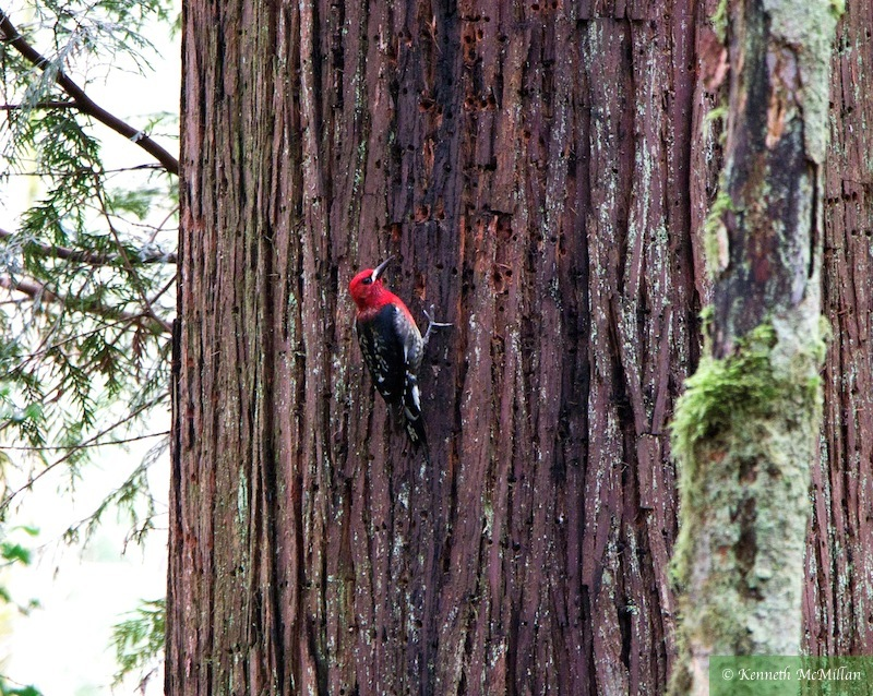 Sapsucker on a cedar which might indicate the presence of powder beetles.