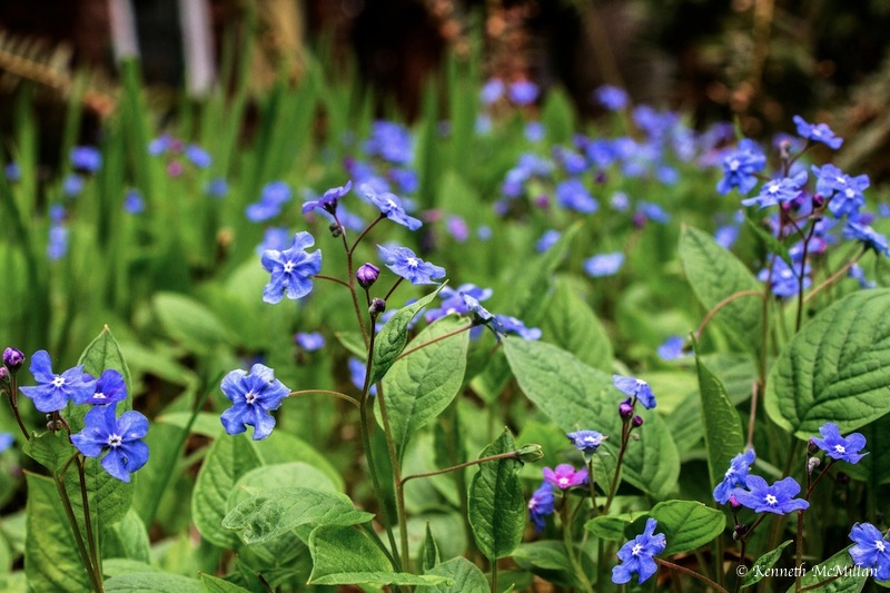Chinese Forget-Me-Not