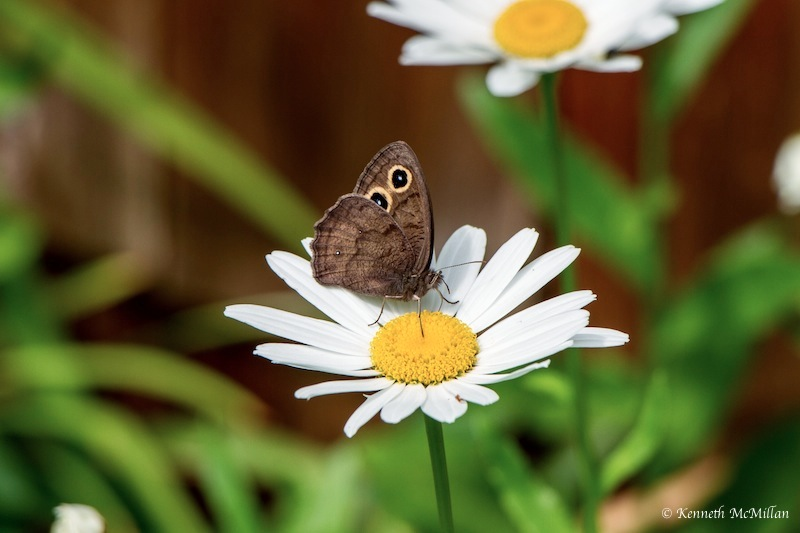 Common Wood-nymph Butterfly (Cercyonis pegala) « Hard-To ...