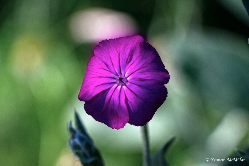 Rose Campion (Silene coronaria)_watermarked