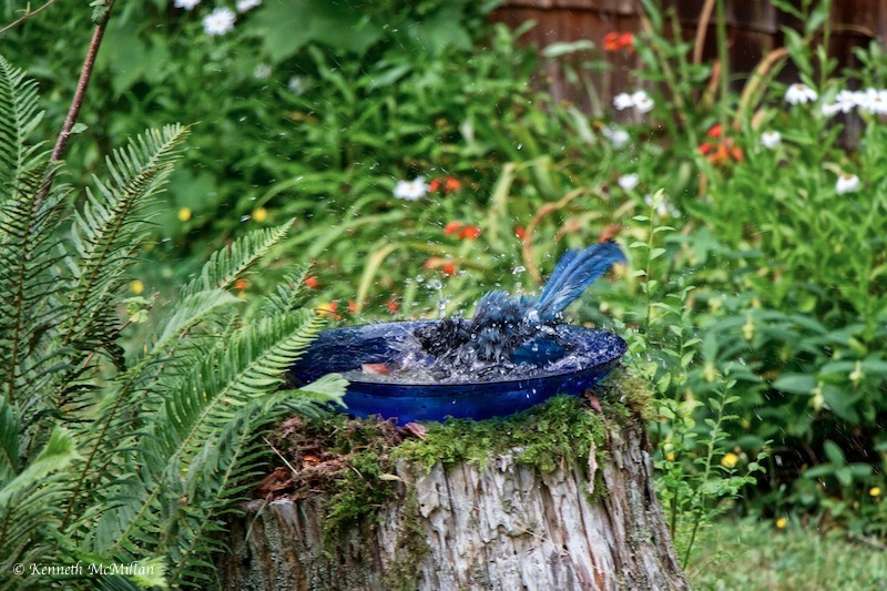 Steller Jay Bath 2_watermarked