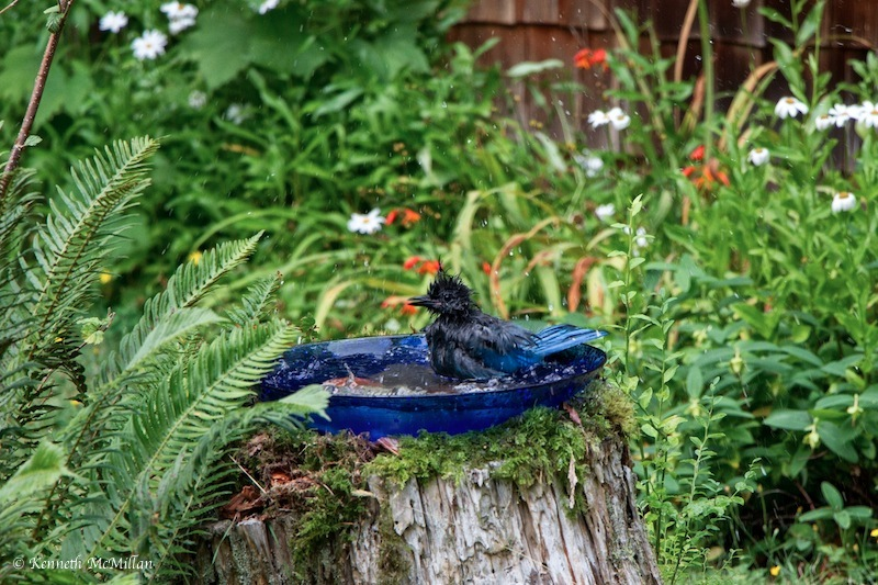 Steller Jay Bath 4_watermarked