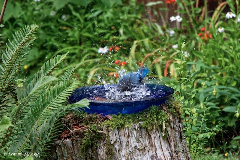 Steller Jay Bath 5_watermarked