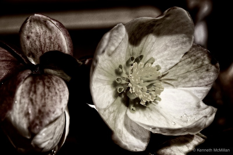 Christmas Rose 3_watermarked