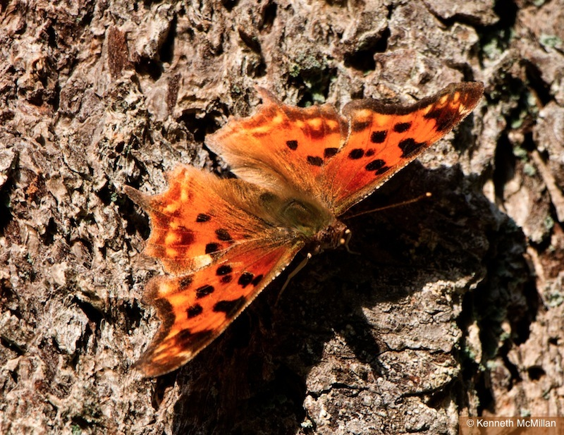 Comma Moth_watermarked