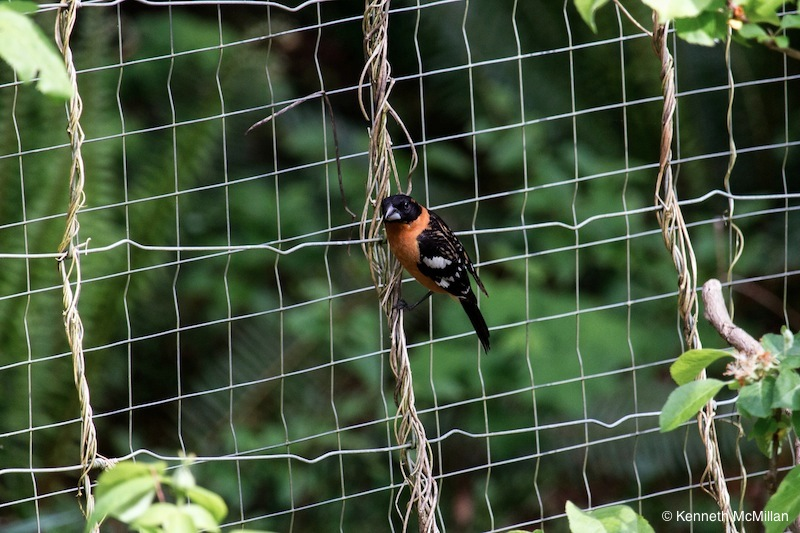 Black-headed Grosbeak (Pheucticus melanocephalus)_watermarked