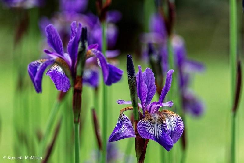 Iris_watermarked
