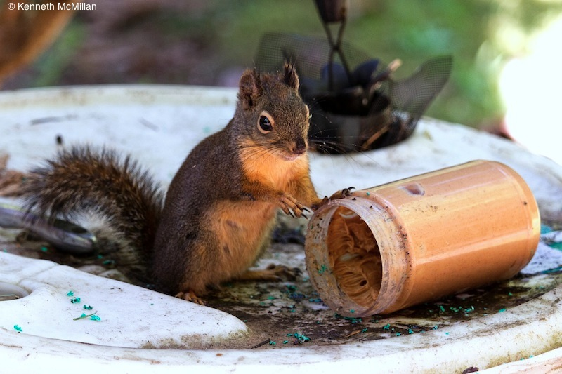 I use inexpensive peanut butter for my live trap to catch nuisance squirrels. This one found the jar and managed to get the lid off.