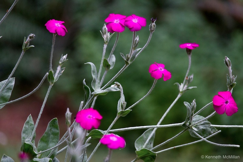 Rose Campion (Lychnis coronaria)_watermarked