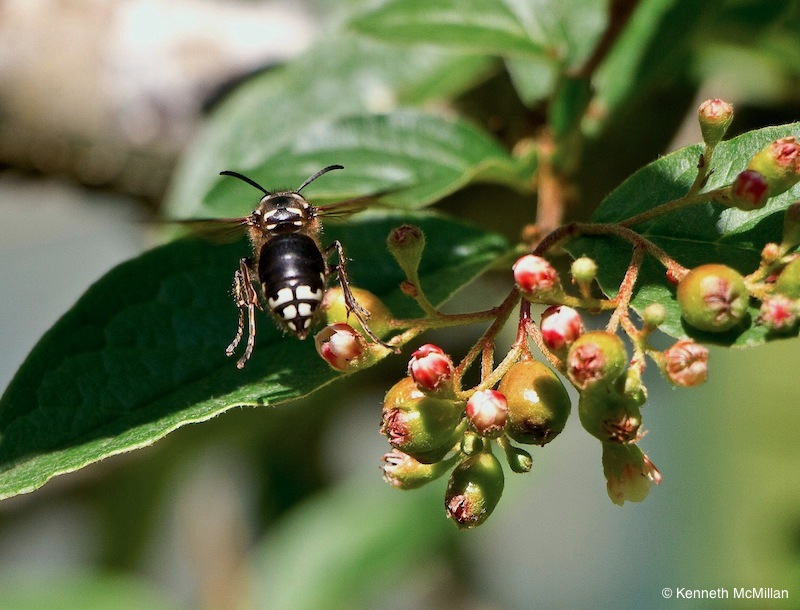 Bald-Faced Hornet (flying)_watermarked