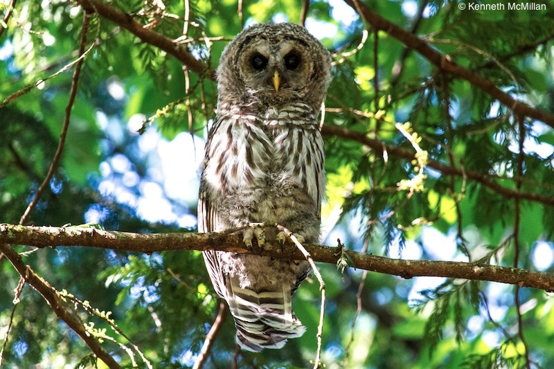 Barred Owl Chick_watermarked