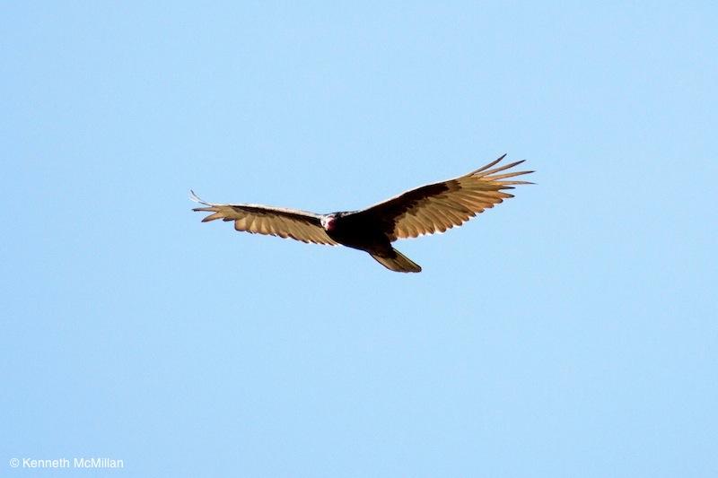 Turkey Vulture_watermarked
